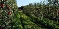 Colheita da maçã abre com expectativa de crescimento e boa qualidade na Serra